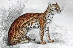 16th February 2021. Jardine Felinae Big Cats