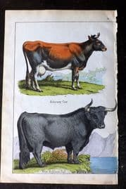 Adam White 1859 Hand Col Print. Alderney Cow, West Highland Bull