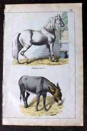 Adam White 1859 Hand Col Print. Arabian Horse, Ass