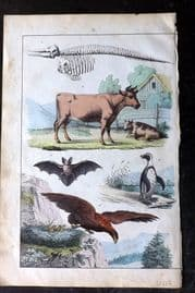 Adam White 1859 Hand Col Print. Cattle, Bat, Eagle, Penguin
