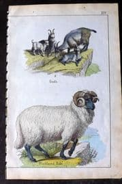 Adam White 1859 Hand Col Print. Goats, Blackfaced Ram