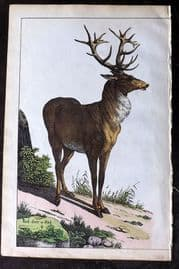 Adam White 1859 Hand Col Print. Red deer or Stag