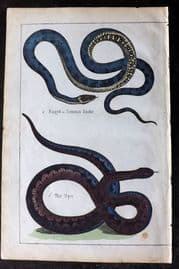 Adam White 1859 Hand Col Print. Ringed or Common Snake, Viper
