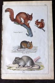 Adam White 1859 Hand Col Print. Squirrel, House Mouse, Rat