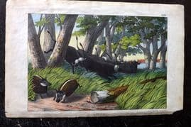 Adam White 1867 Hand Col Print. Africa Buffalo & Painted Pig of the Camaroons 35