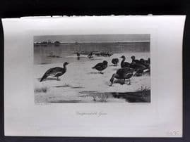 Aflalo 1898 Antique Bird Print. Unapproachable Geese