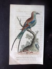 After George Edwards 1799 Hand Col Bird Print. Swallow-Tailed Indian Roller