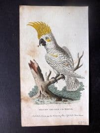 After George Edwards 1799 Hand Col Bird Print. Yellow Crested Cockatoo