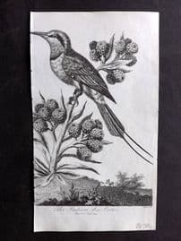After George Edwards 1810 Antique Bird Print. Indian Bee-Eater