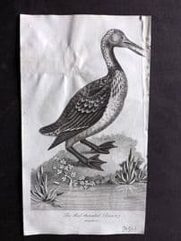 After George Edwards 1810 Antique Bird Print. Red Throated Diver