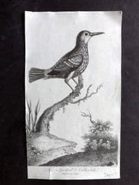 After George Edwards 1810 Antique Bird Print. Spotted Nuthatch