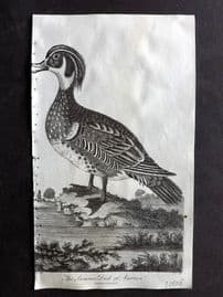 After George Edwards 1810 Antique Bird Print. Summer Duck of America