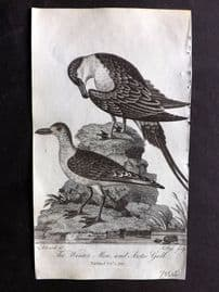 After George Edwards 1810 Antique Bird Print. Winter Mew and Arctic Gull