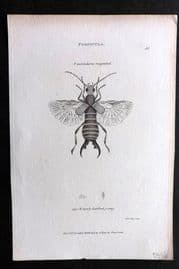 Shaw C1805 Antique Insect Print. Forficula 40