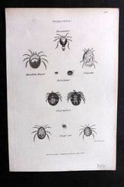 Shaw C1805 Antique Insect Print. Hydrachna 125