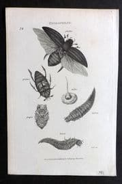Shaw C1805 Antique Insect Print. Hydrophilus 34