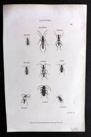 Shaw C1805 Antique Insect Print. Leptura 26