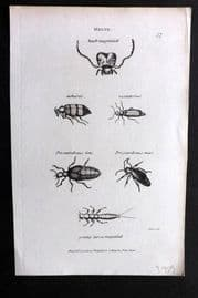 Shaw C1805 Antique Insect Print. Meloe 37