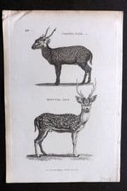 Shaw C1805 Antique Print. Porcine Deer & Spotted Axis 180