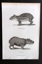 Shaw C1805 Antique Print. Spotted Cavy, Capybara 127