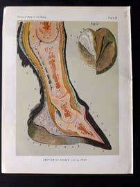 Sidney & Cassell 1881 Horse Print. Section of Horse's Leg & Foot