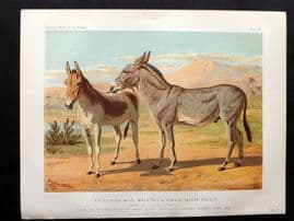 Sidney & Cassell 1881 Print. Abyssinian Wild Male  Ass & Female Indian Onager