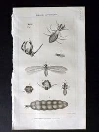 Simeon Shaw 1823 Antique Print. Insects