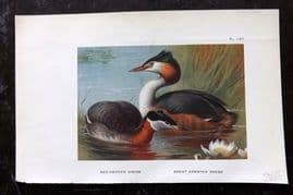 Thorburn 1925 Vintage Bird Print. Red Necked & Great Crested Grebe 187
