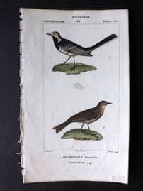 Turpin C1820 Hand Col Bird Print. Willie Wagtail, Pipit 36.