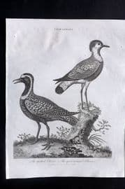 Wilkes C1815 Bird Print. Spotted & Spur Winged Plover