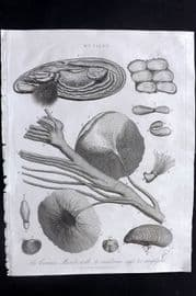 Wilkes C1815 Print. Common Muscle with it's Membrane Eggs. Mussel