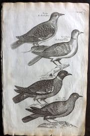 Willughby 1708 Bird Print. Turtle Dove, Indian Turtle, Ring Dove, Wood Pigeon 35