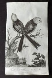 After George Edwards C1805 Antique Bird Print. Long-tail Titmouse, Cock and Hen
