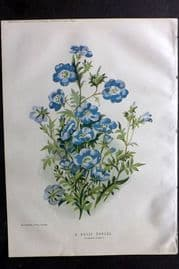 Amateur Gardening 1895 Botanical Print. A Hardy Annual (Nemophila Insignis)