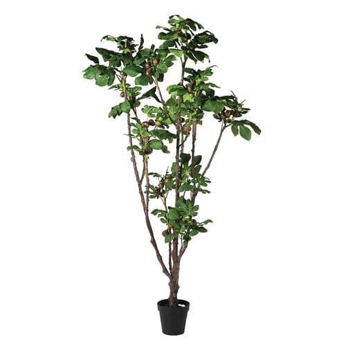 Tall Fig Plant in Pot