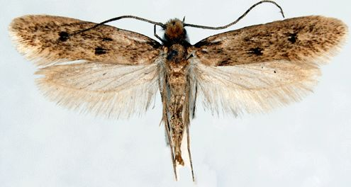 Case-Bearing Clothes Moths